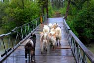 Dogs are wary to cross bridges. Summer practice helps bolster their confidence