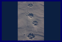 Wolf tracks, twice the size of a man's fist, often give the impression of a loner. Sometimes on closer inspection it's possible to see where a pack has followed a trailbreaker by planting their feet in exactly the same footing.
