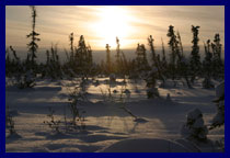Too cold to grow, too tough to die, rickety and gnarled stunted black boreal larch trees endure another brutal winter.